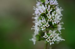 Chocolate mint flower closeup. Chocolate mint is a variety of Peppermint, Mentha piperita, also known as Mentha balsamea Wild is a hybrid mint, a cross between stock image