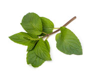 Chocolate Mint Leaves Royalty Free Stock Photography