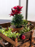 Chocolate Mint and other Spices in cart. Chocolate Mint plant with cactus and other spices and flowers in wooden cart royalty free stock images