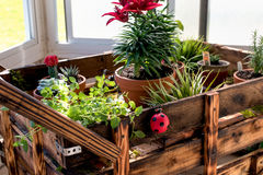 Chocolate Mint and other Spices in cart. Chocolate Mint plant with cactus and other spices in wooden cart stock images