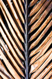 Chocolate Palm. Brown palm frond stock photos