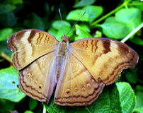 Chocolate Pansy Butterfly Foto de Stock Royalty Free