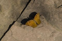 Chocolate Pansy Butterfly on Cement royalty free stock images