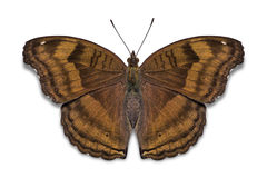 Chocolate Pansy butterfly Royalty Free Stock Photo
