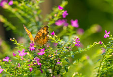 Chocolate Pansy butterfly in a garden Stock Image
