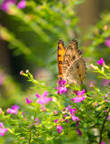 Chocolate Pansy butterfly in a garden Royalty Free Stock Image