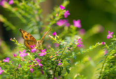 Chocolate Pansy butterfly in a garden Stock Photography