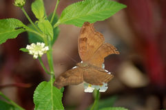 Chocolate Pansy Butterfly, India Stock Photography