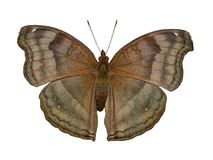 The chocolate pansy butterfly, Junonia iphita, is isolated on white background stock photography