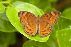 Chocolate Pansy butterfly Stock Photo
