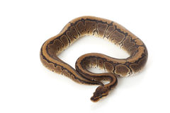 Chocolate pinstripe ball python Royalty Free Stock Photography