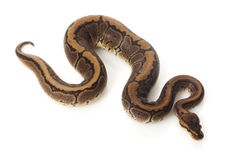 Chocolate pinstripe ball python Royalty Free Stock Images