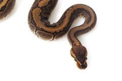 Chocolate pinstripe ball python Stock Photography