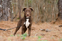Chocolate Pitbull Terrier Puppy Dog royalty free stock photo