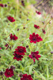 Chocolate plant - smells like chocolate. Chocolate plant smells like chocolate- cosmos atrosanguineus Royalty Free Stock Photography