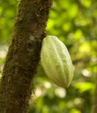 Chocolate Pod On Tree Stock Images