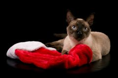 Chocolate point Siamese cat lying down with a Christmas stocking. On black background Royalty Free Stock Photography