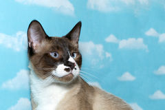 Chocolate point snow shoe siamese cat looking off to the left wi royalty free stock photo