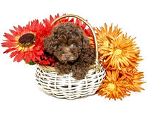 Chocolate Poodle Royalty Free Stock Image