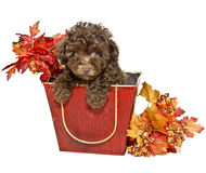 Chocolate Poodle Royalty Free Stock Photography