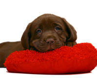 Chocolate pup. Stock Image