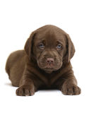 Chocolate puppy. Chocolate puppy of breed Labrador on a white background Royalty Free Stock Image