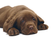 Chocolate puppy Labrador. A chocolate puppy Labrador. The puppy of breed Labrador Retriever Royalty Free Stock Images