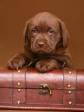 Chocolate puppy with a trunk. Chocolate puppy of Labrador with a wooden trunk Stock Photo