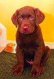 Chocolate Puppy. Two months old chocolate labrador puppy sitting. Muzzle with crumbs after eating Royalty Free Stock Photo