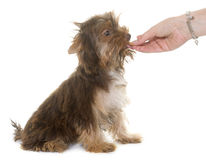 Chocolate puppy yorkshire terrier eating Stock Photo