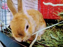 Chocolate rabbit is eating grass on the backyard.Little grey bunny rabbit.Rabbit`s eyes are like suffering