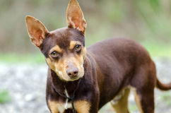 Chocolate Rat Terrier mixed breed dog adoption photo Royalty Free Stock Photo