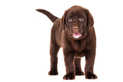 Chocolate Retriever puppy on white Royalty Free Stock Photography