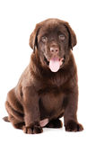 Chocolate Retriever puppy on white Royalty Free Stock Photos