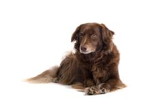 Chocolate Setter Royalty Free Stock Images