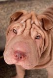 Chocolate shar pei portrait Royalty Free Stock Photos