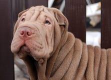 Chocolate shar pei portrait. Chocolate puppy shar pei portrait Stock Photo