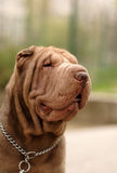 Chocolate  Shar pei portrait Stock Images