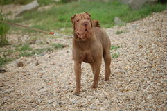 Chocolate  sharpei boy 2. Chocolate sharpei adult near to the river Stock Photos