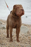 Chocolate sharpei male Stock Photo