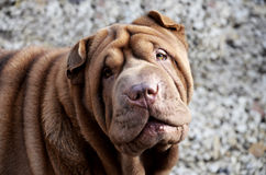 Chocolate sharpei portrait Royalty Free Stock Image