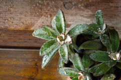 Chocolate soldier plant,Kalanchoe. Royalty Free Stock Photography