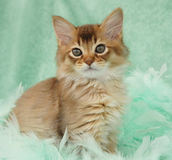 Chocolate Somali kitten. Among green feathers Royalty Free Stock Images