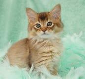 Chocolate Somali kitten Royalty Free Stock Images