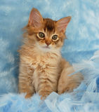 Chocolate Somali kitten in blue feathers Stock Photos