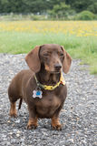 Chocolate and tan miniature dachshund in field Stock Photography