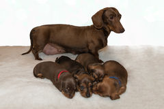 Chocolate and tan miniature dachshund with four puppies. Chocolate and tan miniature dachshund standing behind four young puppies on fluffy white blanket Stock Photos
