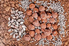 Chocolate truffles and cocoa beans in cocoa. Inside, indoors, interiors, food, nutrition, nourishment, candy, confections, confectionery, cacao, seeds, sweet royalty free stock photos