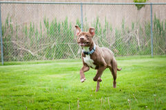 Chocolate and white pit bull running Royalty Free Stock Image