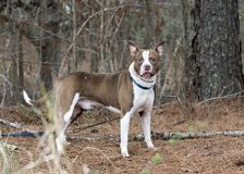 Staffordshire Bull Terrier Pitbull Bulldog mixed breed dog. Chocolate and white unneutered male Bulldog mixed breed outside on leash. Large pointy bat ears. Dog stock photography
